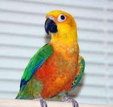 JADE is an adoptable Conure Parrot in Mantua, OH. Jade is Jenday Conure who is looking for a forever home. She steps up and likes to come out of her cage to be with people. She likes to play with her...