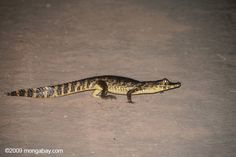 Caiman crossing a road in Brazil - possibly looking for the Capybara in the earlier photo.