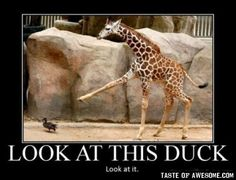 I realize that this is a lot of giraffe-themed material, but... seriously look at this duck.