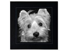Westie Square Black and White Photo Greeting by denisebruchman