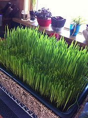 Directions on how to grow wheat grass.  So going to do this!
