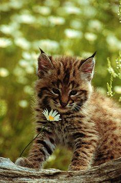 Captive Baby Bobcat & Daisy