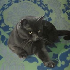 Reach II gray cat on blue green background, painting by artist Diane Hoeptner