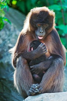 Mother gelada with baby