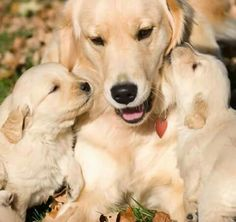 Golden mama with pups