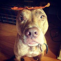 Pit Bull & Bacon