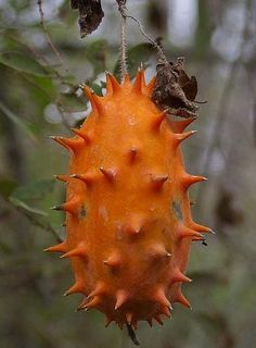 Kiwano - African horned melon (Cucumis metuliferus)