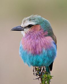 What a lovely Bird..Lilac-Breasted Roller in Kenya..