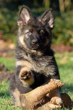 "Oudduitse herder kennel ""Van Chika's Erf"" - oudduitse herder pups"