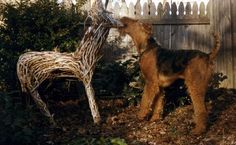 Airedale Terrier....... Playing with a Christmas yard ornament❤
