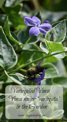 Variegated Vinca is a spiller used by many gardeners and is readily available at the big box stores. In the higher zones this can be an invasive plant Garden Frogs, Invasive Plants, Garden Projects, Beautiful Gardens, Pop Up, About Me Blog, Home And Garden, Big, Popup
