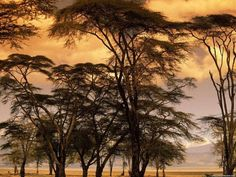 Fever trees, Africa
