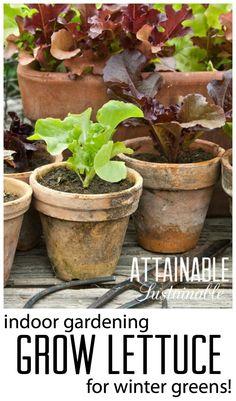 Grow lettuce indoors for winter salad greens. Garden ~ homestead