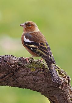The Chaffinch - Fringilla coelebs . This bird is widespread and familiar throughout Europe .