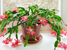 When and How to Repot a Christmas Cactus: Repotting Christmas Cactus isn't complicated, but the key is knowing when and how to repot a Christmas Cactus...