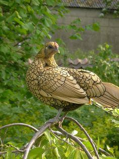 Golden Sebright hen.  Сибрайт выведены в Англии. Создал породу Джон Сибрайт и впервые показал её в 1815 году. Они изначально карликовые по происхождению.