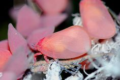 flatid planthopper, Phromnia rosea
