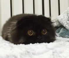猫界には「まっくろくろすけ」が存在するという噂はちらほらあったが、ギモくんも、まさにその一員と言えよう。お目目くりっくり、黒毛がふっさふさ。毛玉が落ちているかと間違えるレベルで激似していたのである。