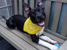 TO BE DESTROYED 9/7/14 Manhattan Center -P  My name is JAQUES. My Animal ID # is A1012503. I am a male black and white pit bull mix. The shelter thinks I am about 3 YEARS old.  I came in the shelter as a STRAY on 08/31/2014 from NY 10458, owner surrender reason stated was STRAY.
