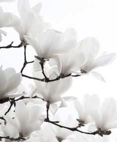 Flowers Black And White Photography Life 43 Ideas Black And White Flowers, Shades Of White, White Aesthetic, White Gardens, Magnolias, Belle Photo, White Photography, Photography Flowers, Planting Flowers