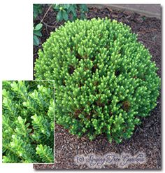 Genus: Hebe Species: buxifolia Nana Native to New Zealand, this excellent foliage plant will make a nice 2ft. hedge if sheared. Small white flowers open in summer. One of the hardiest of the hebes and also quite drought resistant.