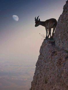 Mountain Goat on the Ledge (by Renato Lopez Baldo) Beautiful Creatures, Animals Beautiful, Cute Animals, Amazing Animal Pictures, Animal Pics, Mundo Animal, Tier Fotos, Fauna, Belle Photo