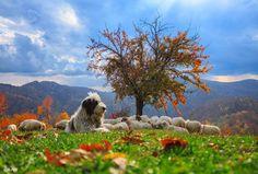 Romanian shepherd dog in the Bucegi Mountains photo by Roland Barát I Love Transylvania Visit Romania, Mountain Photos, Bucharest, Macedonia, Montenegro, Shepherd Dog, Places To Visit, Cute Animals, Tours
