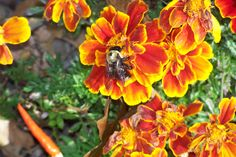 #bee on red and yellow flower