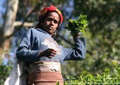 Portrait d'une cueilleuse de thé remplissant son sac, Radella Short cut road, Ceylan Sri Lanka