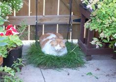 Cat friendly garden ideas for apartment patios and balconies. Really poorly written, but the author has great ideas and an awesome cat garden. Apartment Balconies, Apartment Patios, Apartment Living, Apartment Ideas, Cat Garden, Balcony Garden, Balcony Ideas, Cat Friendly Plants, Cat Safe Plants
