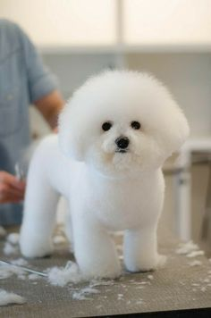 The Bichon cut :-). The Bichon cut :-). Very hard to find a good groomer for this. Bichon Frise, Bichon Dog, Teacup Chihuahua, Cute Puppies, Dogs And Puppies, Poodle, Pet Dogs, Dog Cat, Doggies