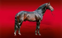Arpeggio Westphalian stallion http://landgestuetcelle.de/