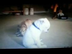 "Funny Dancing Dog ""Feelin The Blues""  Jamynne Bowles and her deaf English Bulldog ""Feelin The Blues"" along with Ashland Miller on guitar from Long Branch,NJ....this is truly amazing to watch, and all dog/animal lovers will adore this video as much as I do......"