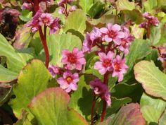BERGENIA cordifolia 'Morgenrote'