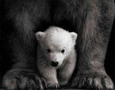 Polar bear cub, under his mama's protection.