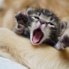 The cutest little yawn.