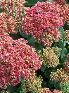 Sedum 'Pool Party' | Upright Sedum http://plantlust.com/plants/11457/sedum-pool-party/