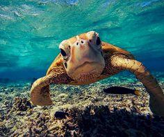 beach, cute, endangered, fish, ocean, photography, sea turtle, summer, swimming