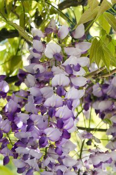 Monrovia's Cooke's Purple™ Wisteria details and information. Learn more about Monrovia plants and best practices for best possible plant performance. Outdoor Pergola, Backyard Pergola, Pergola Plans, Pergola Kits, Pergola Ideas, Pergola Swing, Patio Roof, Outdoor Plants, Landscaping Ideas