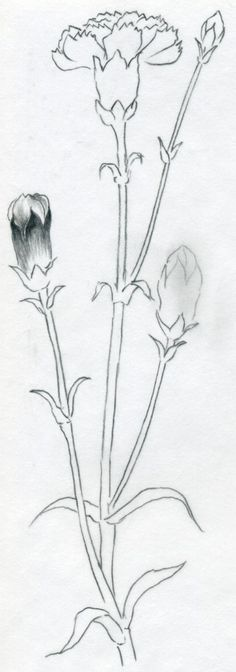 Learn to draw carnation, step by step tutorial.