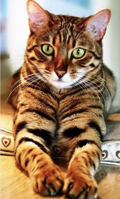 Cats - Bengal Cat - Ideas of Bengal Cat - Hello Gorgeous! Cats The post Hello Gorgeous! Cats appeared first on Cat Gig. Cute Cats And Kittens, Cool Cats, Kittens Cutest, Pretty Cats, Beautiful Cats, Animals Beautiful, Baby Animals, Cute Animals, Cat Behavior