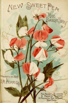 Sweet Pea, 1899 | Vintage Seed Packet ~ Catalog                                                                                                                                                      More