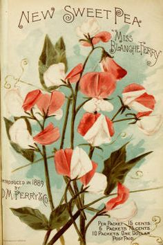 Sweet Pea, 1899 | Vintage Seed Packet ~ Catalog