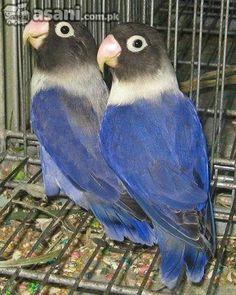 Lovebird Jantan Betina : lovebird, jantan, betina, Lovebirds, Ideas, Birds,, Beautiful, Birds