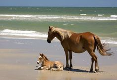 Horses on the Outer Banks, NC.  These are likely at Corolla or Duck on the northern Outer Banks.  Other horses can be found on Ocracoke and Shackleford Banks near Beaufort.