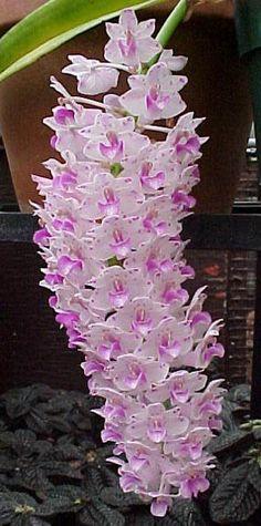 rhynchostylis retusa orchid