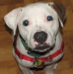 Petango.com – Meet Rudolph, a 2 years 7 months Terrier, Pit Bull / Mix available for adoption in Oak Park, IL