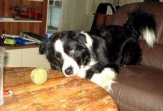 Boarder Collie Avalon  Für meinen Ball tu ich fast alles       Mehr lesen: http://d2l.in/4t  dogs2love - Gassi gehen zum Verlieben. Partnerbörse für alle, die Hunde lieben.  Bild, Dating, Foto, Hund, Partner, Rasse, Single