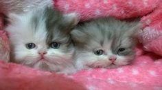 Filhote de Gato Persa Fêmea