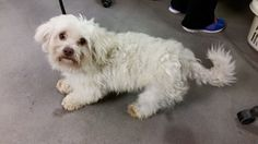 Thomas J. O'Connor Animal Control and Adoption Center Page Liked · 5 hrs · Edited ·    Hi, do you recognize me? I am a male bichon mix. I was found on Northampton St in Springfield, Ma. If you know who I am please contact the shelter right away
